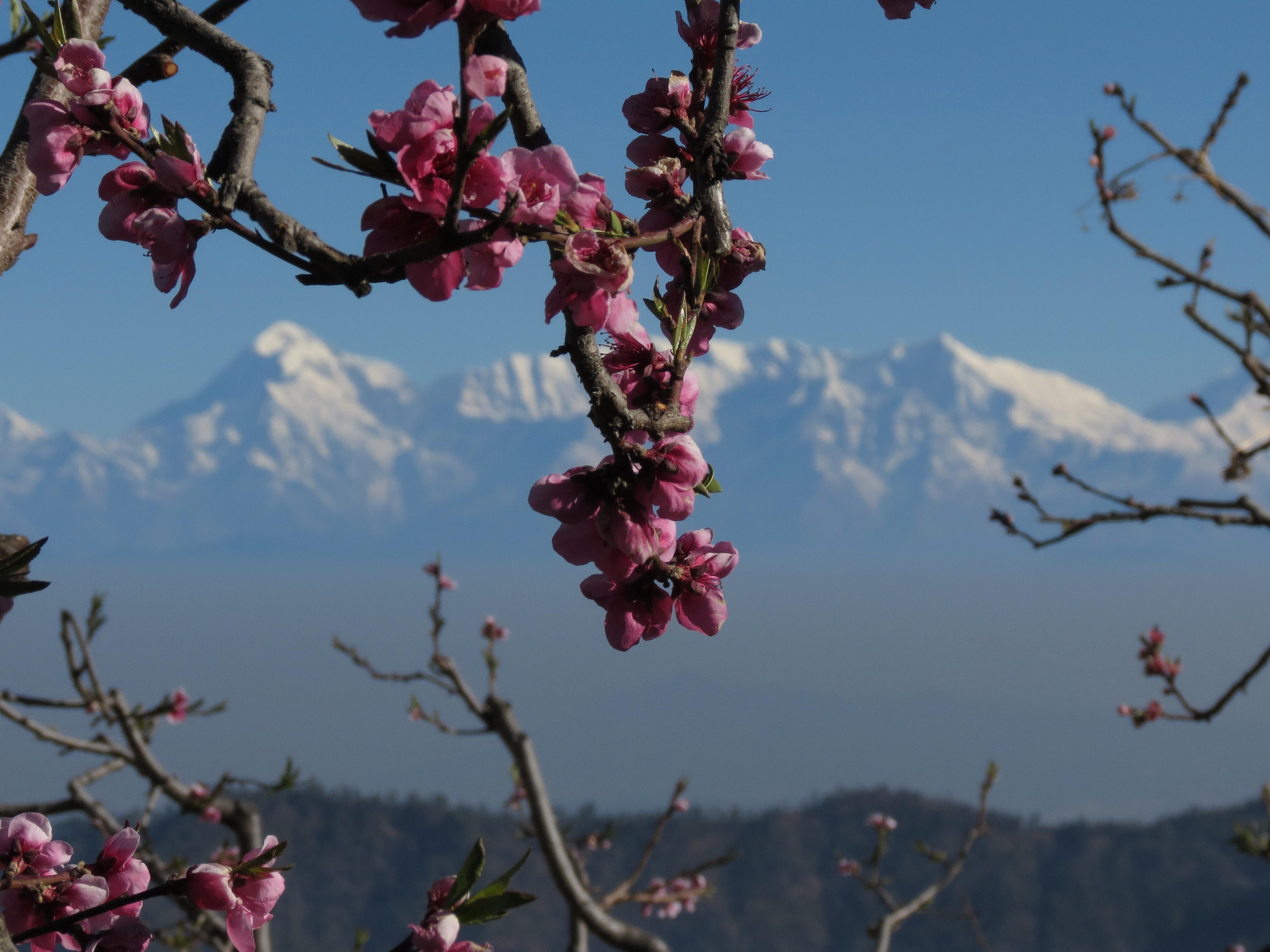 plum-flowers-4